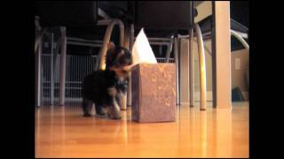 Teddy Tearing Up Tissues (yorkie Puppy)