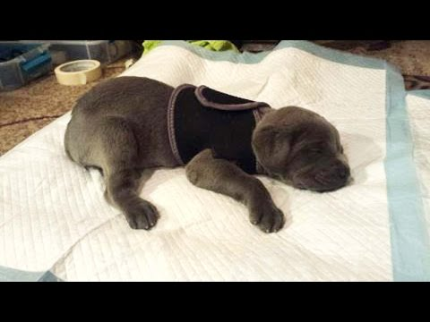 "Breeder Was Going To Throw Out ""Defective"" Mastiff Puppy Until This Happens"