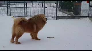 Тибетские мастиф ИЗ ПИТОМНИКА . Щенки львиного типа в продаже.-http://beliy-lekar.ru