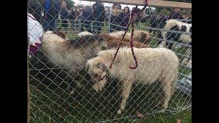Ballinasloe Fair 2018 - My Lovely Horse Rescue