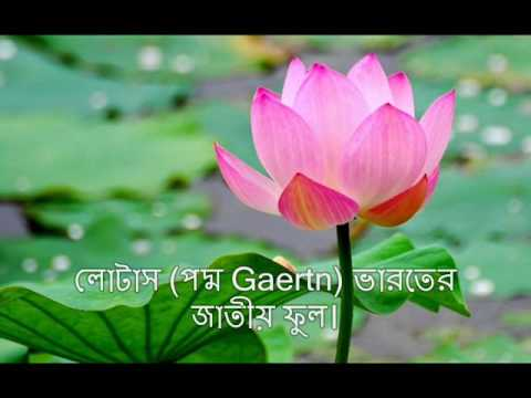 National Flower Lotus Information Youtube