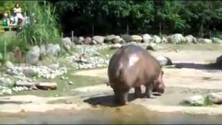 LONGEST FART EVER !!! Funny Hippo