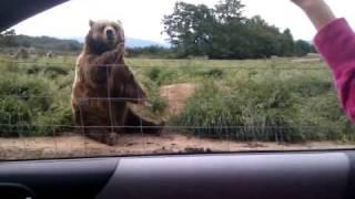 Polite Bear Waves Hello - a waving bear thumbnail