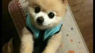 SHUNSUKE the POMERANIAN:Twitter 犬 俊介 俊介くん 検索動画 12