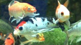 How To Prepare A Coldwater Fish Tank