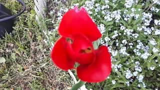 Тюльпаны - Очень красивые! Обзор 13 мая!