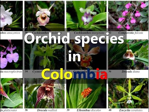 Orchid species in Colombia