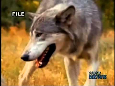 Gray Wolf Presence in Emmet County