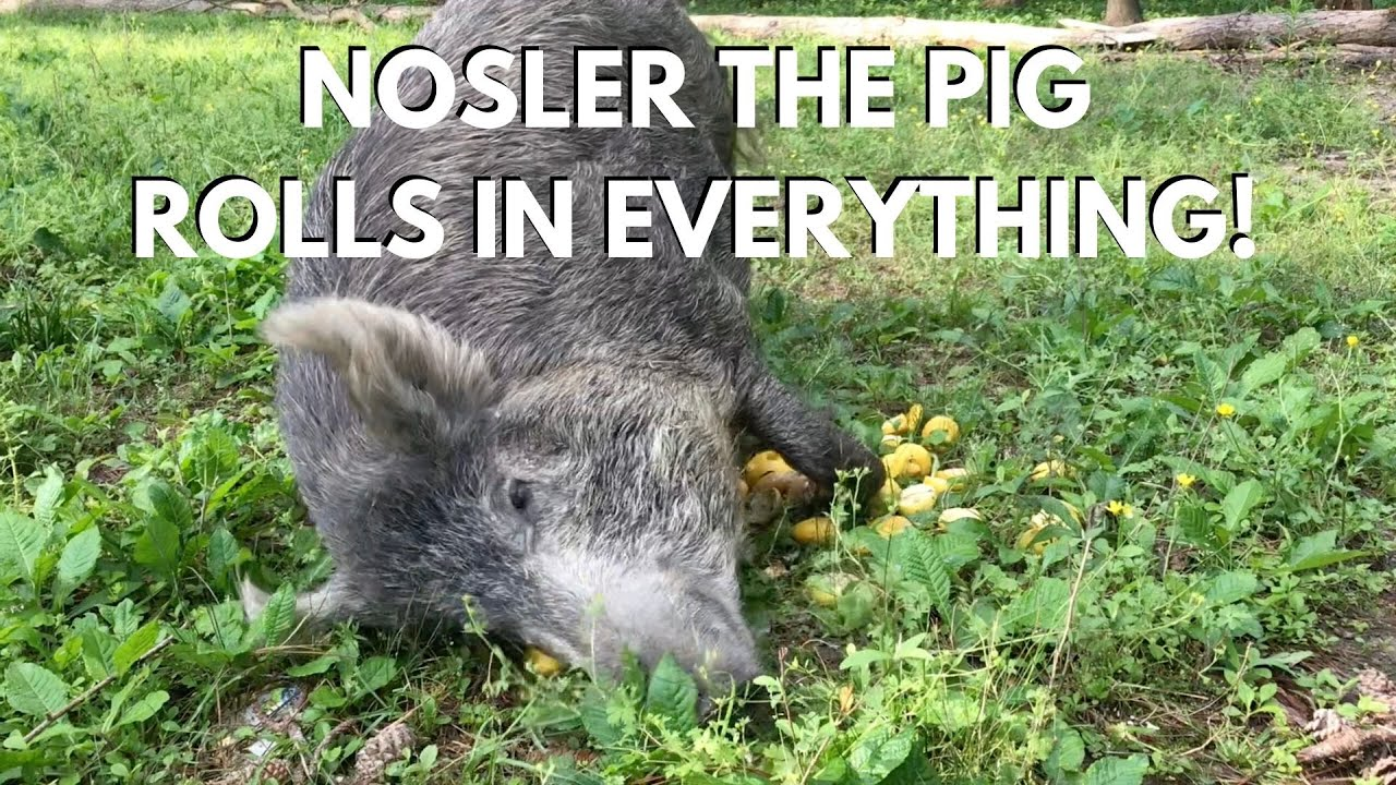 Nosler the Pig Rolls in EVERYTHING!