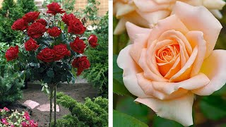 How To Plant A Standard Rose: Jeff Turner Plants Standard Stem Grafted Roses