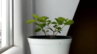 Mint Plant Time Lapse