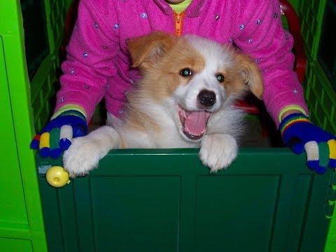 Border Collie Pina - puppy days