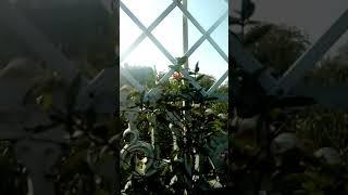 Жимолость Серотина устойчива к заболеваниям, очень яркие цветы!!!
