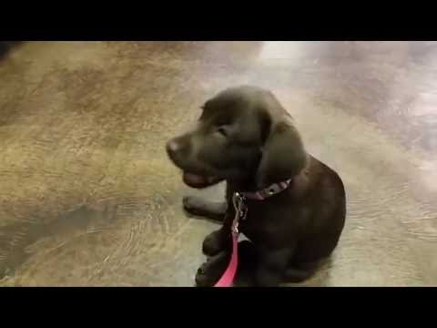 Chocolate Lab 12 Weeks Old - 1st Week at Puppy School