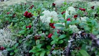 LINGONBERRY PICKING IN FINLAND | Virtual Outdoors Finland