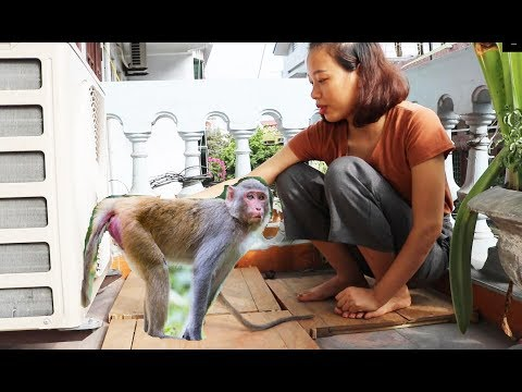 Morning Routines - Baby Monkey Sam Is Breastfed Outside On The Balcony