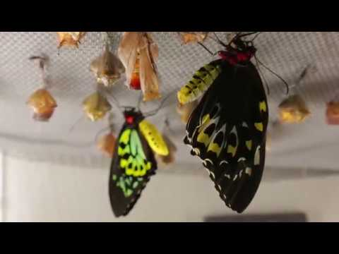 Witnessing Butterflies Emerge | California Academy of Sciences