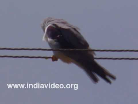 Black Shouldered Kite or Elanus caeruleus