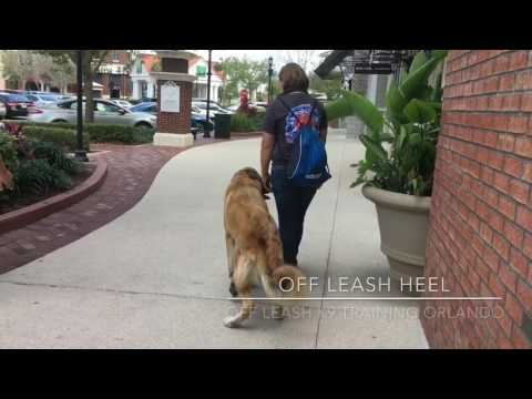 "1 yr old Pyrenees/Shegpherd mix ""Dude""