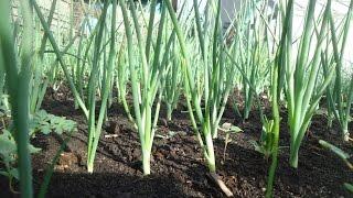 видео Выращивание лука под зиму – ранний урожай и зашита от вредителей