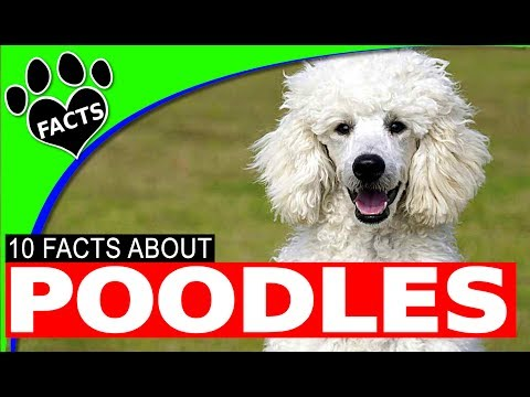 Dogs 101: Poodles Dogs Top 10 Interesting Facts Most Popular Dog Breeds - Animal Facts