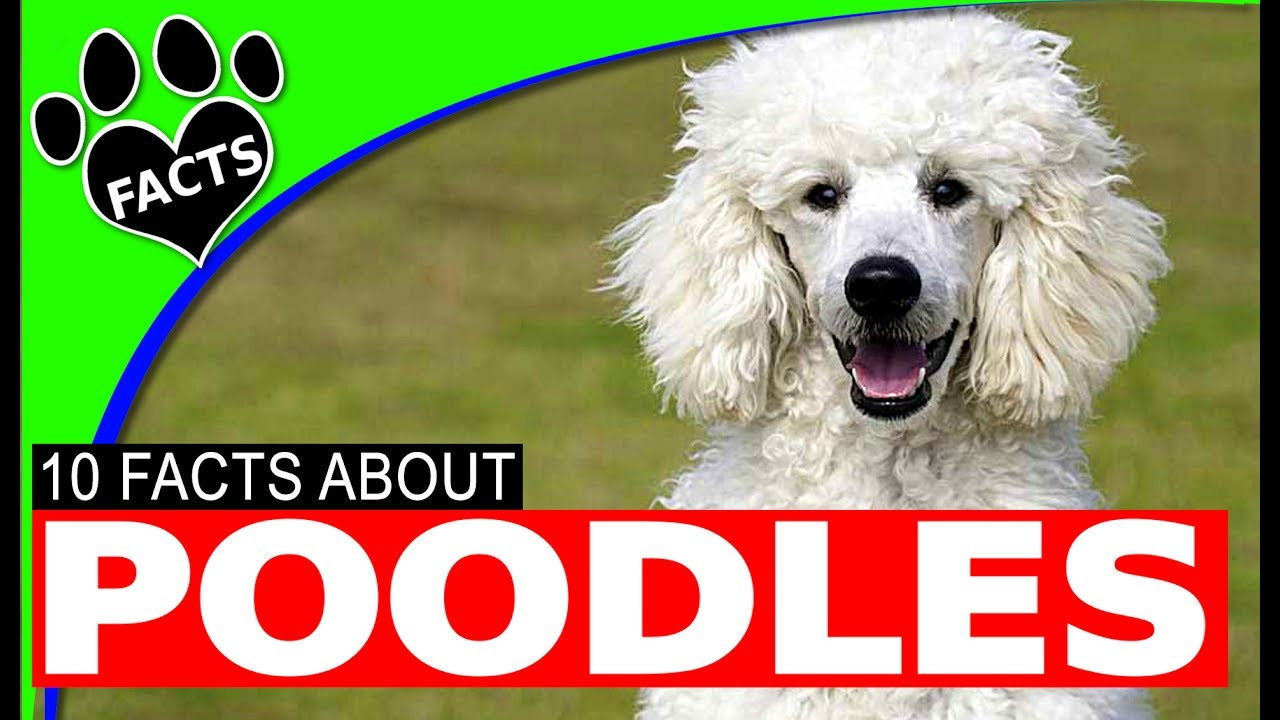 Poodle Dogs 101 Top 10 Interesting Facts