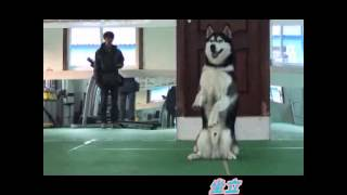 Maybe he is the most talented Huskies in this world