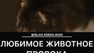 Любимое Животное Пророка Мухаммада