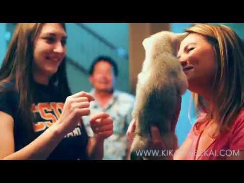 How to adopt an Alaskan Klee Kai - Miniature Husky