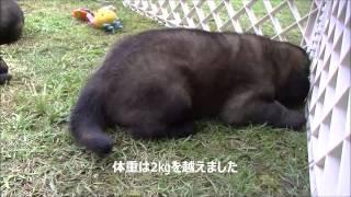 レオンベルガーの情報はこちらから http://www.masaki-collection.jp/