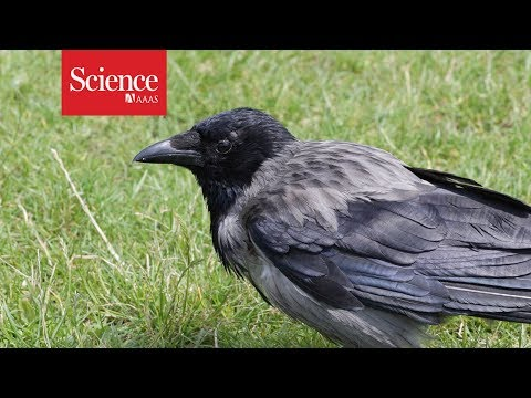 Ravens—like humans and apes—can plan for the future