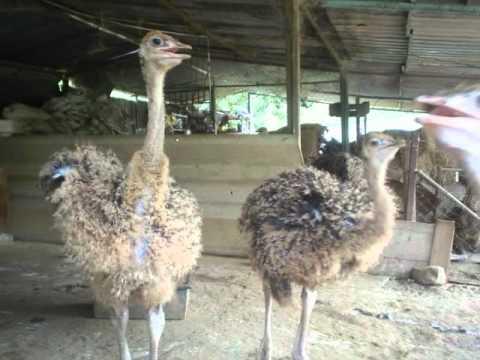polluelos Venezuela