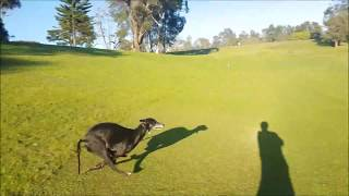 Beautiful 3 years old greyhound running and playing!