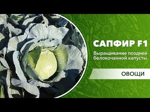 Выращивание поздней белокочанной капусты Сапфир F1