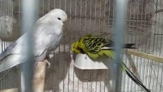 Muhabbet Kuş Yumurtadan Çıkış Anı 🙂