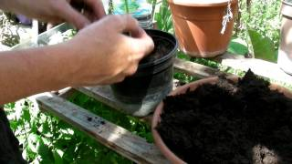 How to plant out your okra - Claire's Allotment part 239