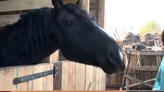 Чем же занимаются лошади зимой? - Телеканал Свой 20-10-2014