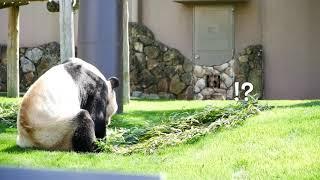 【パンダ】貴重映像😁良浜が小窓から永明と対面😍 panda 大熊猫 thumbnail