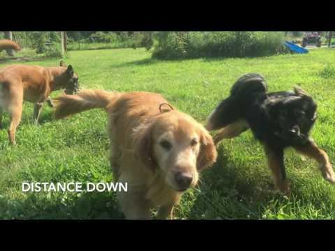 7-Year Old Golden Retriever, Taz! Teaching Old Dog New Tricks!