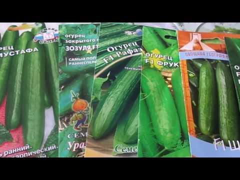 Посев разных сортов огурцов длительного срока плодоношения на рассаду пророщенными семенами .