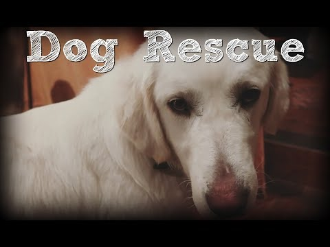 Akbash Dog Rescue: Starving, Near Death - Rescued and Adopted