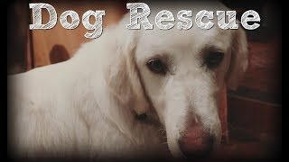 Akbash Dog Rescue: Starving, Near Death  Rescued and Adopted