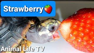 Turtle love strawberry my cute…
