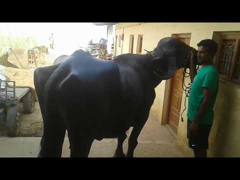 JAFARABADI BUFFALO (GUJARAT BREED) IN MR.SANTHOSH HOUSE @ VARTHUR, BENGALURU EAST