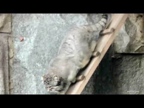 В Московском зоопарке умер боровшийся с опухолью манул