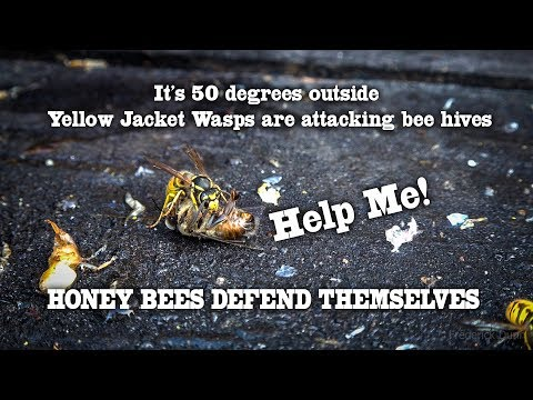 Bee Keeping Ovservations Yellow Jacket Wasps Attack The Hive, Honey Bees Kill Them