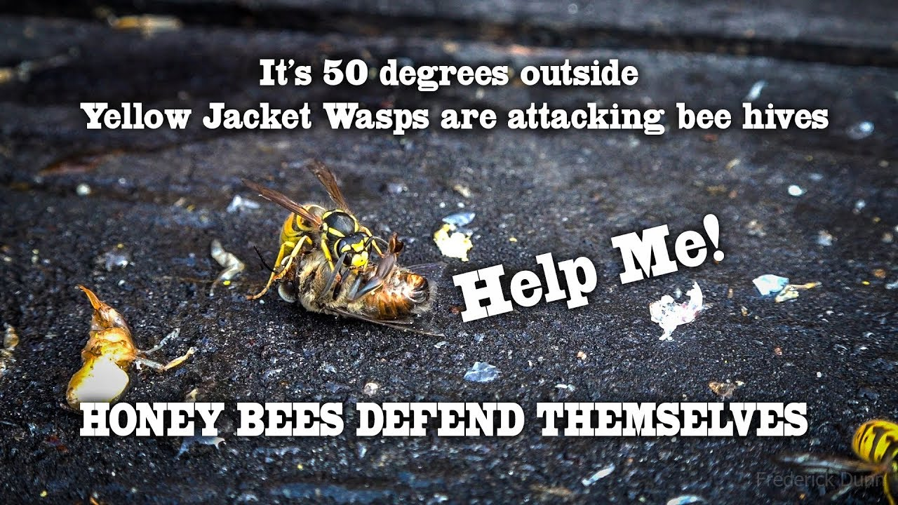 Yellow Jacket Wasps Attack The Hive Honey Bees Kill Them Take Out Your Dead