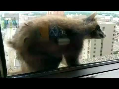 Masked Daredevil - MPR Raccoon scales building