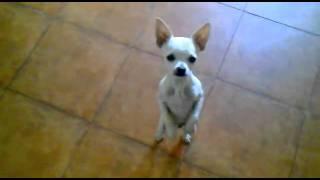 Tańczący pies