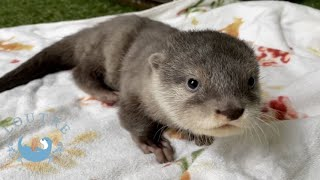 カワウソの赤ちゃん、追いかけっこが激しすぎる件について Otter baby & her aunt play together soooo hard!